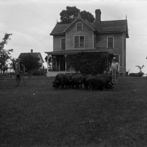 Swine herding on the Agricultural Experiment Station's central farm