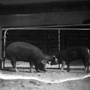 Swine in farm yard