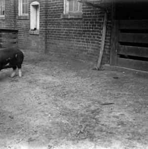 Swine in farm yard