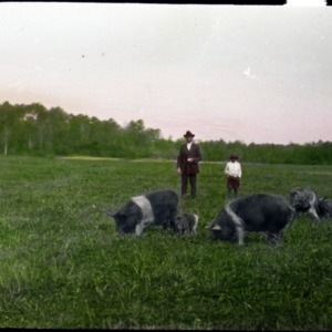 Hampshire hogs on permanent pasture
