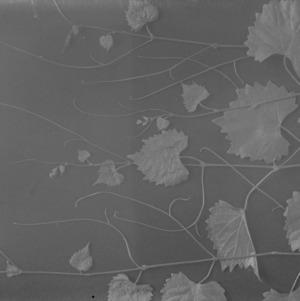 Grape leaf study