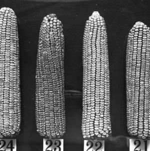 Types of ears of corn, 1909