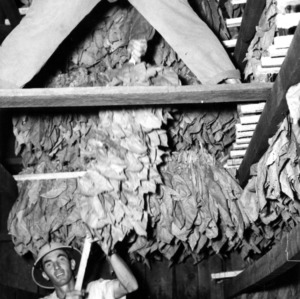 Men in tobacco barn