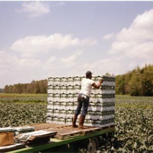 Brocolli harvesting
