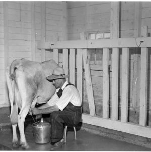 Milking cow in wooden stanchions