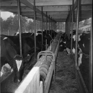 Cows in pens