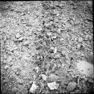 Peanuts crop
