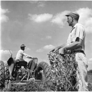 Men working in peanut field