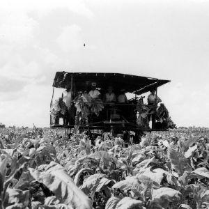 Tobacco Harvesting
