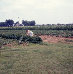 Packaging - Conventional Field Scenes, Tobacco: R.W. Storage and A.W. Storage, 1965-1968