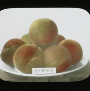 Carman peaches, colorized, circa 1910
