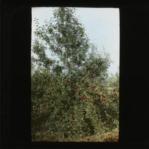 Peach tree, colorized, circa 1910