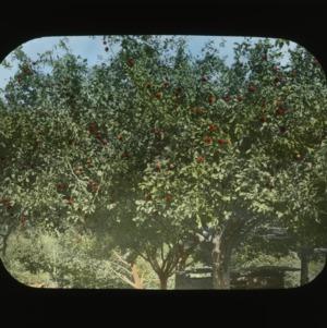 Peach trees, colorized, circa 1910