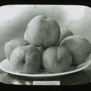 Connetts Early peaches, circa 1900