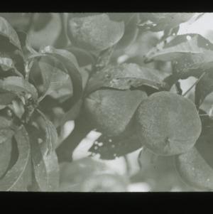 Peaches on tree, circa 1900