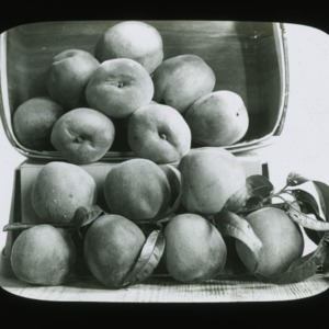 Pile of peaches, circa 1900