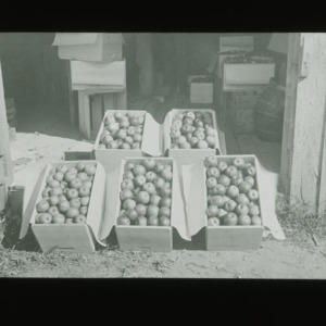 Boxes of apples, circa 1910