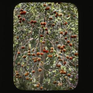 Plum tree, colorized, circa 1910