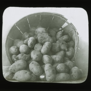 Potatoes, circa 1900