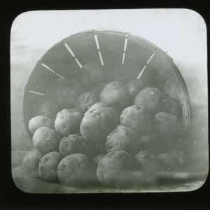 Red potatoes, circa 1900