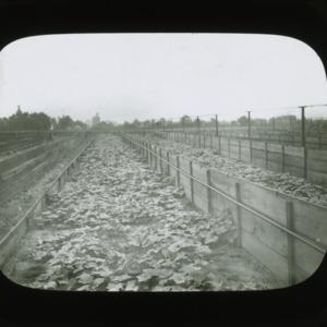 Cucumber harvest, circa 1900