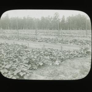 Cucumber harvest, circa 1910