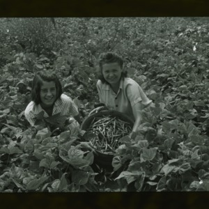 Two women harvesting green beans in field, circa 1940