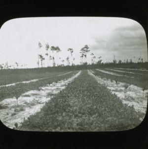 Harvest field, circa 1900