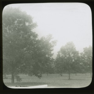 Pecan orchard in Halifax County, circa 1910