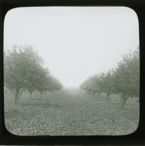 Orchard in Wake County, circa 1910