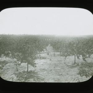 Orchard, circa 1900