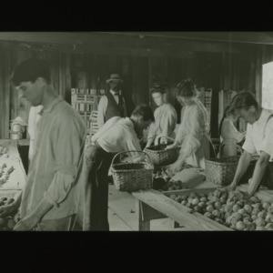 People sorting fruit, circa 1910