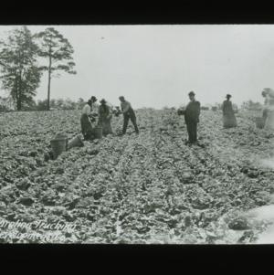 Harvesting for Carolina Trucking Development Company, circa 1910