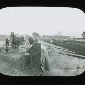 Harvesting lettuce from frames, circa 1900