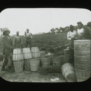 Harvesting peas, circa 1900