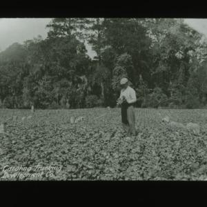 Field crops harvested for the Carolina Trucking Development Company, circa 1910