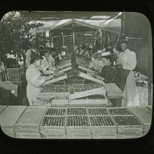 Packing cherries in California, circa 1900