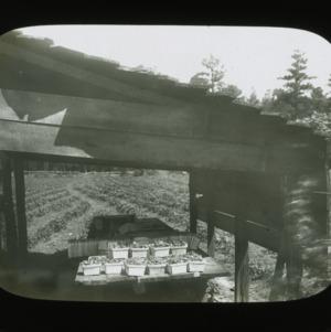 Harvested strawberries, circa 1900