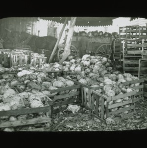 Packing crates of cabbages, circa 1900
