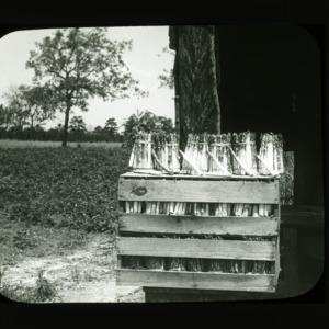 Harvested asparagus, circa 1900