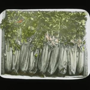 Celery stalks, colorized, circa 1910
