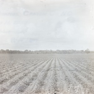 Rows of potato crops, Craven County, NC, 1907