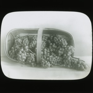 Basket of grapes, circa 1900