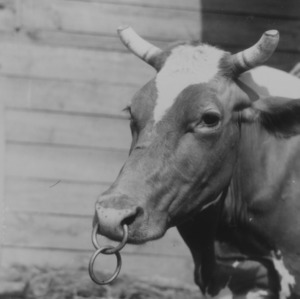 Animal Industry putting rings in cow's nose