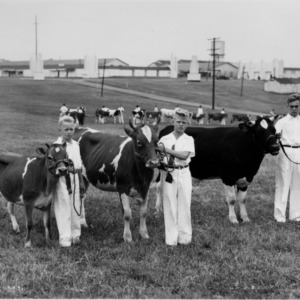 Animal industry calf showing