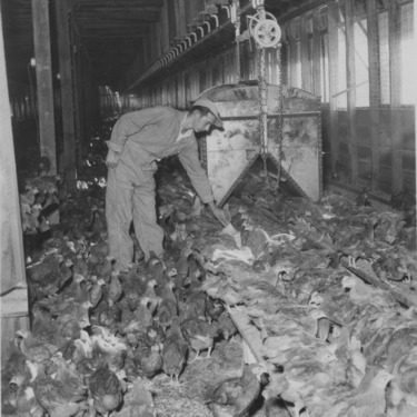 Poultry Farm; Chickens in Pitt County