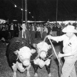 Man with cows at NC State Fair