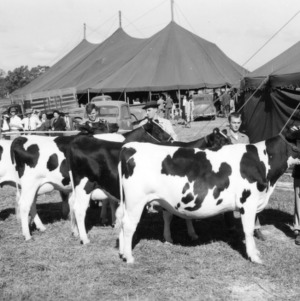 Cattle show at NC State Fair