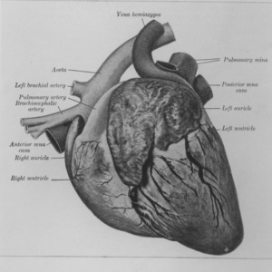 Diagram of pig heart