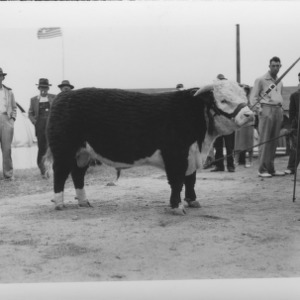 Cattle--State Fair Crowning--Winner of Milking Contest